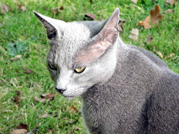 Chat chasseur bleu et néanmoins russe