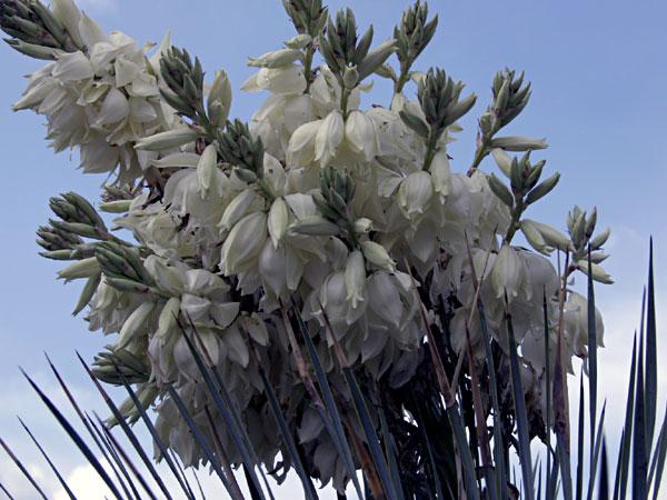 Fleurs de yucca (rostrata ?)
