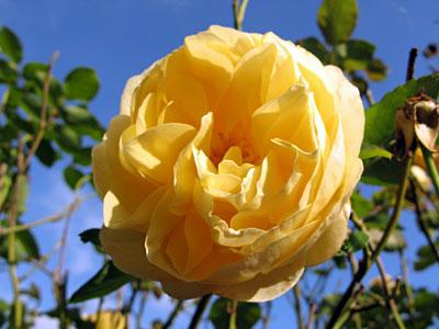 Ja jolie rose jaune de Josette