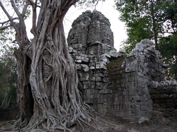 Fromager dévoreur de temples, Angkor, janvier 2008